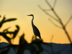 Heron at Sunset