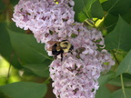 Bumblebee on Lilacs