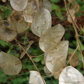 Silver Dollar Leaves