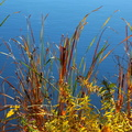 Cattails in Autumn