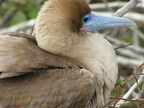 Nesting Red-Footed Booby